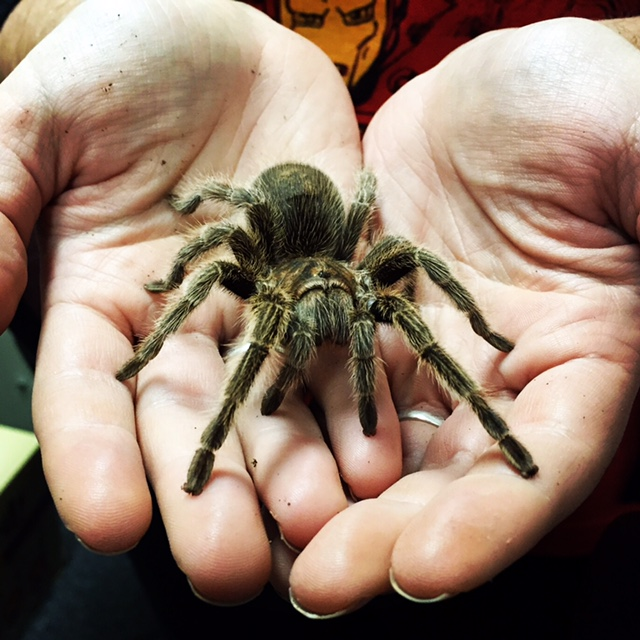 tarantula phobia therapy st louis agape christian counseling